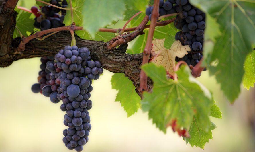 Pinot Grigio: frisse witte wijn voor zwoele zomerdagen
